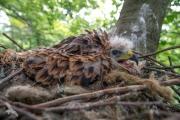 Wer guckt denn da? Junger Rotmilan im Horst. © pixeldiversity