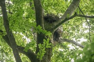 Rotmilanhorst. Schwierig, hier einen Bruterfolg auszumachen. © pixeldiversity