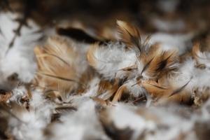 Mauserfeder des Rotmilans (<em>Milvus milvus</em>). © pixeldiversity.com