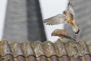 Turmfalken (<em>Falco tinnunculus</em>) kurz vor der Kopula. © S.Rösner