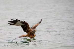 Rotmilane jagen auch am Wasser und sammeln dabei z.B. Fischkadaver von der Wasseroberfläche ein. Foto: Anke Kneifel (www.fotissima.de)
