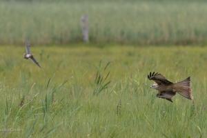 Jagdszenen des Rotmilans im Tiefflug über Feuchtwiesen. © C. Grefen