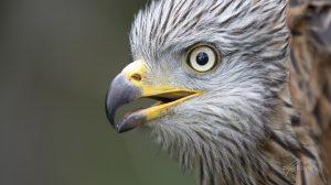 Der Rotmilan (Milvus milvus: Portrait eines europäischen Greifvogels. © pixeldiversity